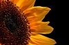 sunflower_010
